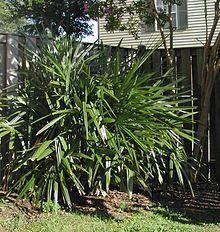 Rhapidophyllum - needle palm cold hardy