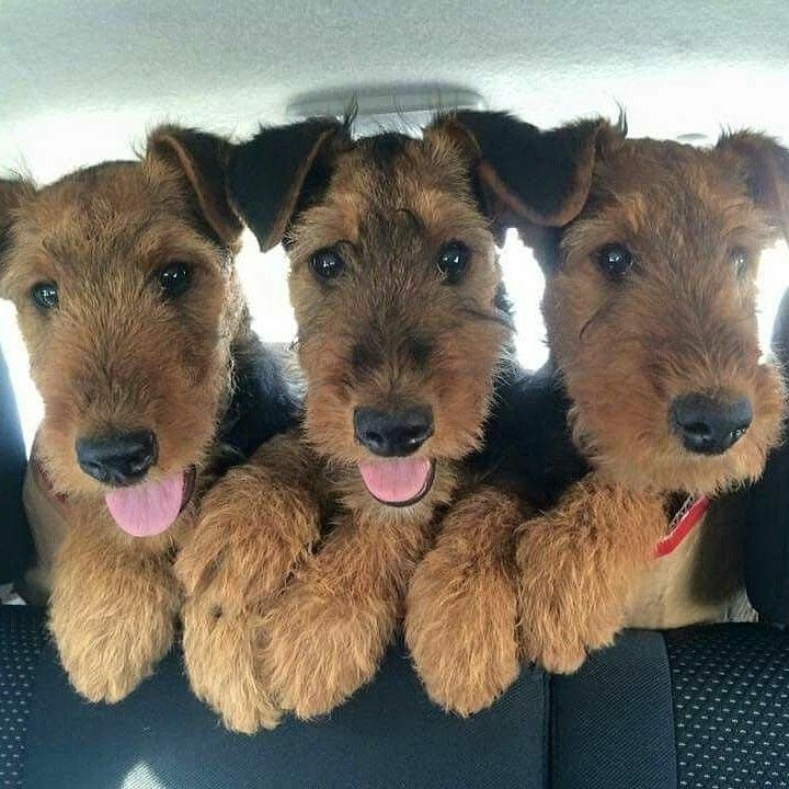 Welsh Terrier Terrier Dog Breeds Airedale Puppy Airedale Dogs