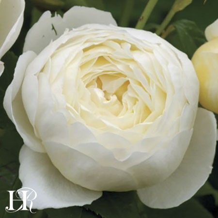 Claire Austin heirloom rose from David Austin. I must plant this in my future garden