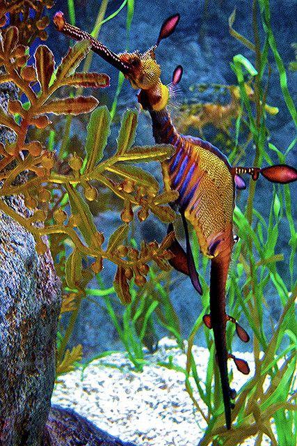 Weedy Sea Dragon @ Sentosa by jeremyvillasis
