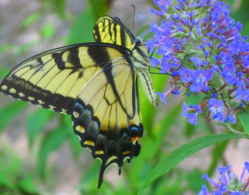 Beau Tiger Swallowtail Butterfly Georgia State Butterfly | Georgia, The Land  That I Love | Pinterest | Georgia