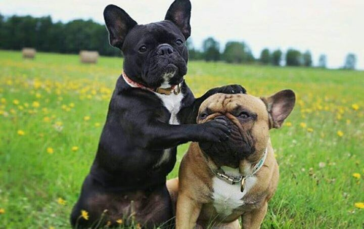 """When that cute Girl is coming over, and you just know your Bro is gonna say something stupid!"""", funny French Bulldogs"""