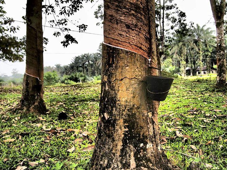 Rubber tree in Malaysia  Author: asano