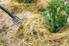 If you're not using mulch in your vegetable garden, you're doing entirely too much work. Straw is one of the best mulch materials you can use around your vegetable plants. This article will explain more.