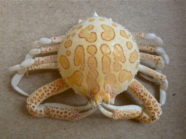 purse crab noteable for it s globular rounded carapace spidery chelipeds and red tinged