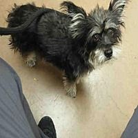 Pictures of HONEY a Yorkie, Yorkshire Terrier Mix for adoption in Phoenix, AZ who needs a loving home.