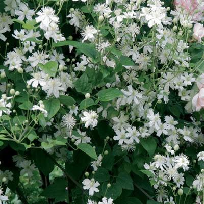 Clematite Fargesii Summersnow Cette variété possède de magnifiques fleurs blanches qui recouvrent complètement la plante Une des rares variétés à petites fleurs blanches pour lété, sa floraison est continue. Vous pouvez lutiliser en pleine terre sur vos tonnelles, associée à des rosiers rose. Hauteur: 4 à 5 m, variété à fleurs blanches de 3/4 cm.