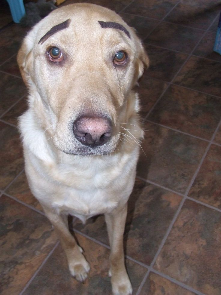 Tucker dog with eyebrows