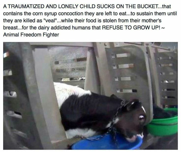 "Female cows are held against their will, sexually assaulted/violated and artificially impregnated against their will, and 9 months later, they'll give birth to a baby calf who is forcibly taken from them against their will so we can steal the baby's milk. Boy babies are murdered for ""veal""; girl babies are forced against their will to be dairy slaves like their moms. This is torture and injustice! Live vegan and learn reverence for life. Don't let absurd, selfish excuses stop you."