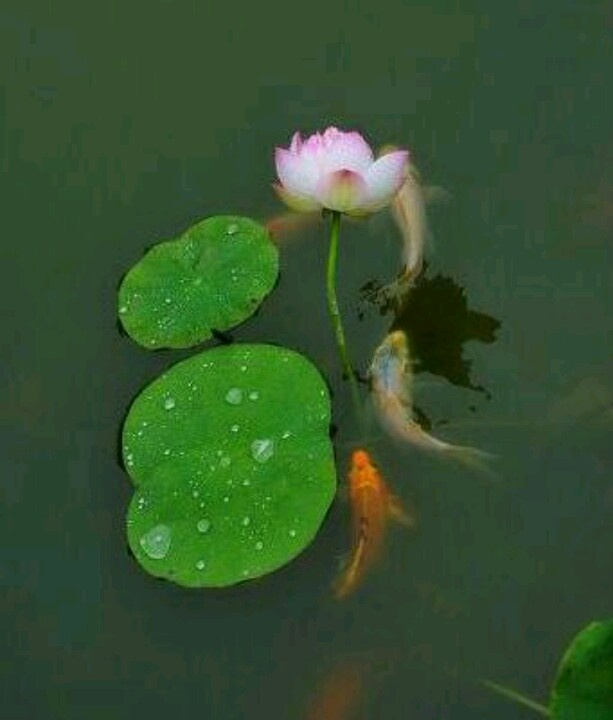 17 best images about lotus ponds on pinterest gardens for Koi fish pond lotus