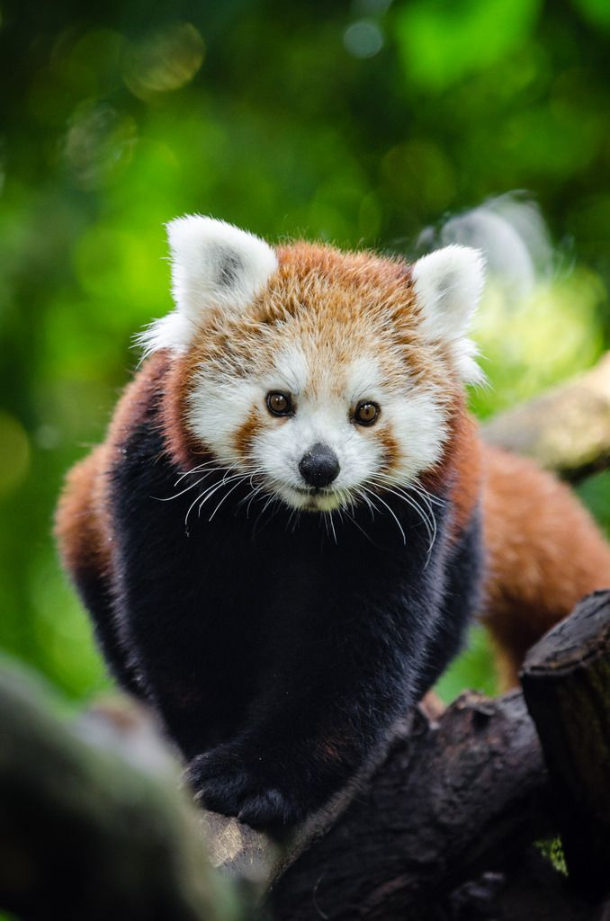 Funkysafari Red Panda By Mathias Appel Animais Mamiferos Aves