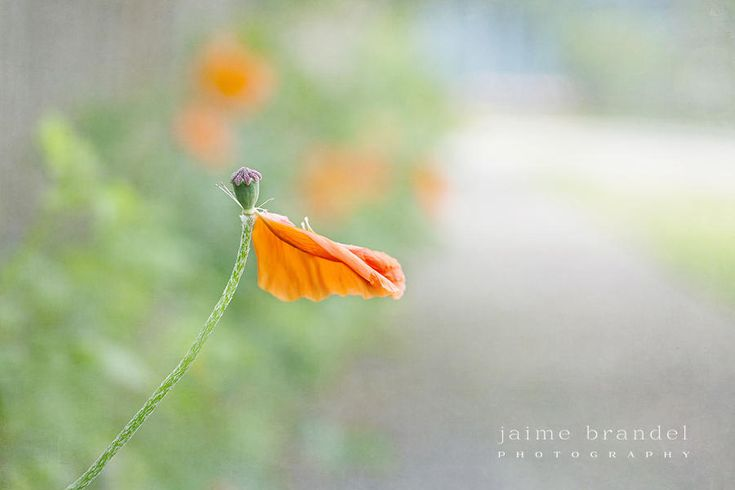 Photography print: flower, poppy, single petal, gardening, floral photography, nature photograph, fine art print by JaimeBrandelPhoto on Etsy