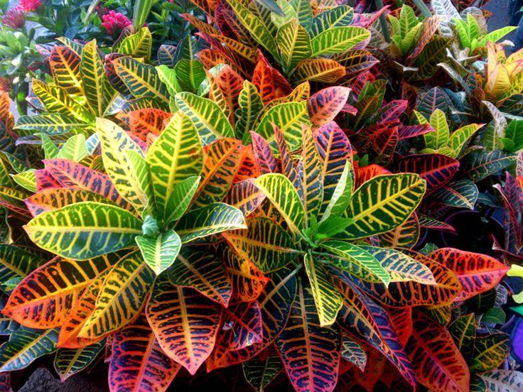 77 Best Images About Folhas Croton On Pinterest