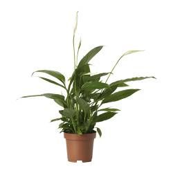 Zimmerpflanzen & Topfpflanzen günstig online kaufen - IKEA