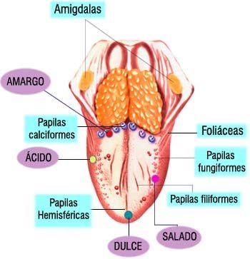 El sentido del gusto nos permite conocer el sabor de las cosas, principalmente de los alimentos. El órgano de este sentido es la lengua y la parte posterior del paladar.