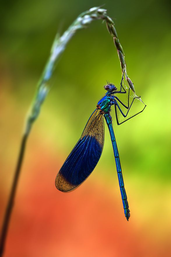 Wonderful damselfly image by Ondrej Pakan.