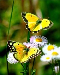 Cheerful yellow butterflies