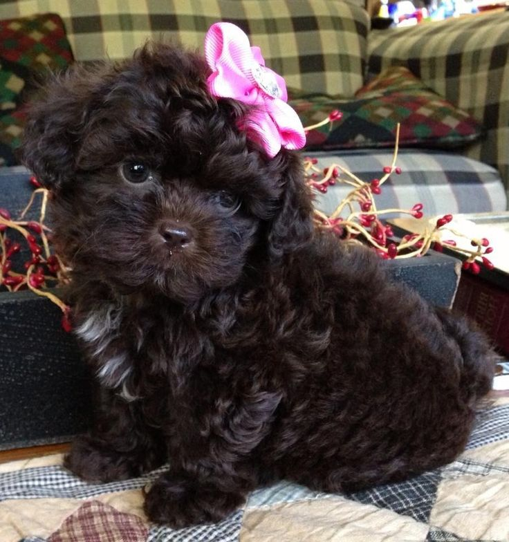 My sweet shih-poo puppy, Pippa.  Love her!