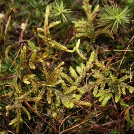 "red stem moss"" is one of the most common species in the world. It is characterized by its distinctive red stems that show through translucent yellow-green leaves. The stems give this species a very rigid feel."