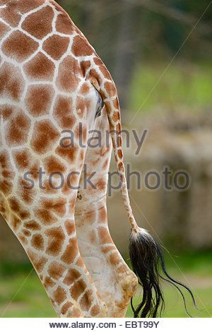 Image result for giraffes tail