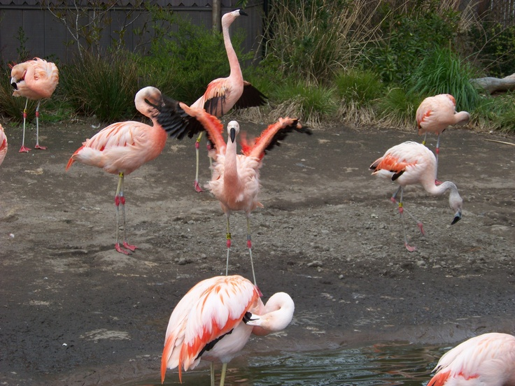 @CityPASS: Pink Flamingos-  At the Woodland Park Zoo in Seattle WA. This was our family vacation in the summer of 2011