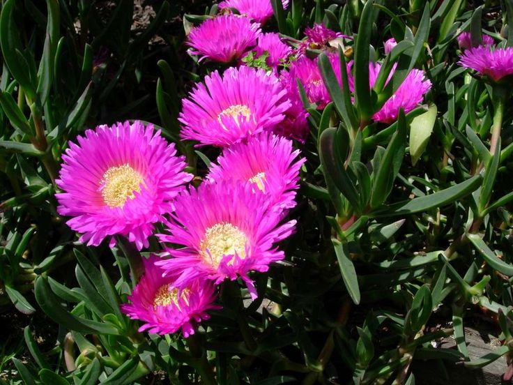 Pigface - carpobrotus rossii - amazing coloured flowers on this native ground cover