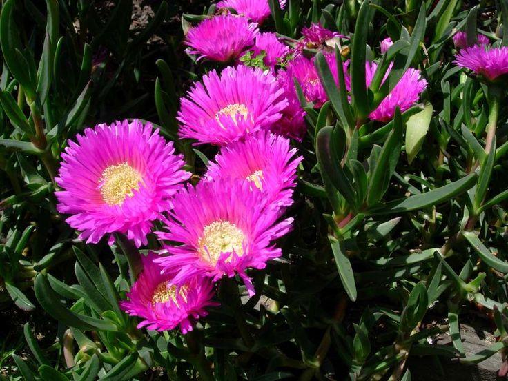 Pigface - carpobrotus rossii - amazing coloured flowers on this native ground cover