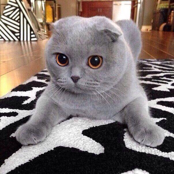 Pin By Ranelle Westin On Koska Scottish Fold Kittens Kittens Cutest Cute Cats