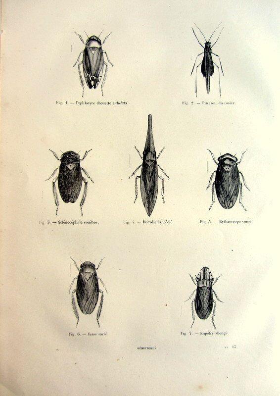 1860 antichi Froghoppers stampa, hemiptera originale francese incisione, illustrazione di piastra dell'insetto, annata Cercopoidea entomologia. di LyraNebulaPrints su Etsy https://www.etsy.com/it/listing/181226350/1860-antichi-froghoppers-stampa