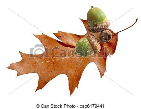Stock Photo - Oak Leaf and Acorn - stock image, images, royalty free photo, stock photos, stock photograph, stock photographs, picture, pictures, graphic, graphics