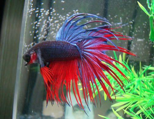 84 best pretty betta fish images on pinterest fish for Types of betta fish petco