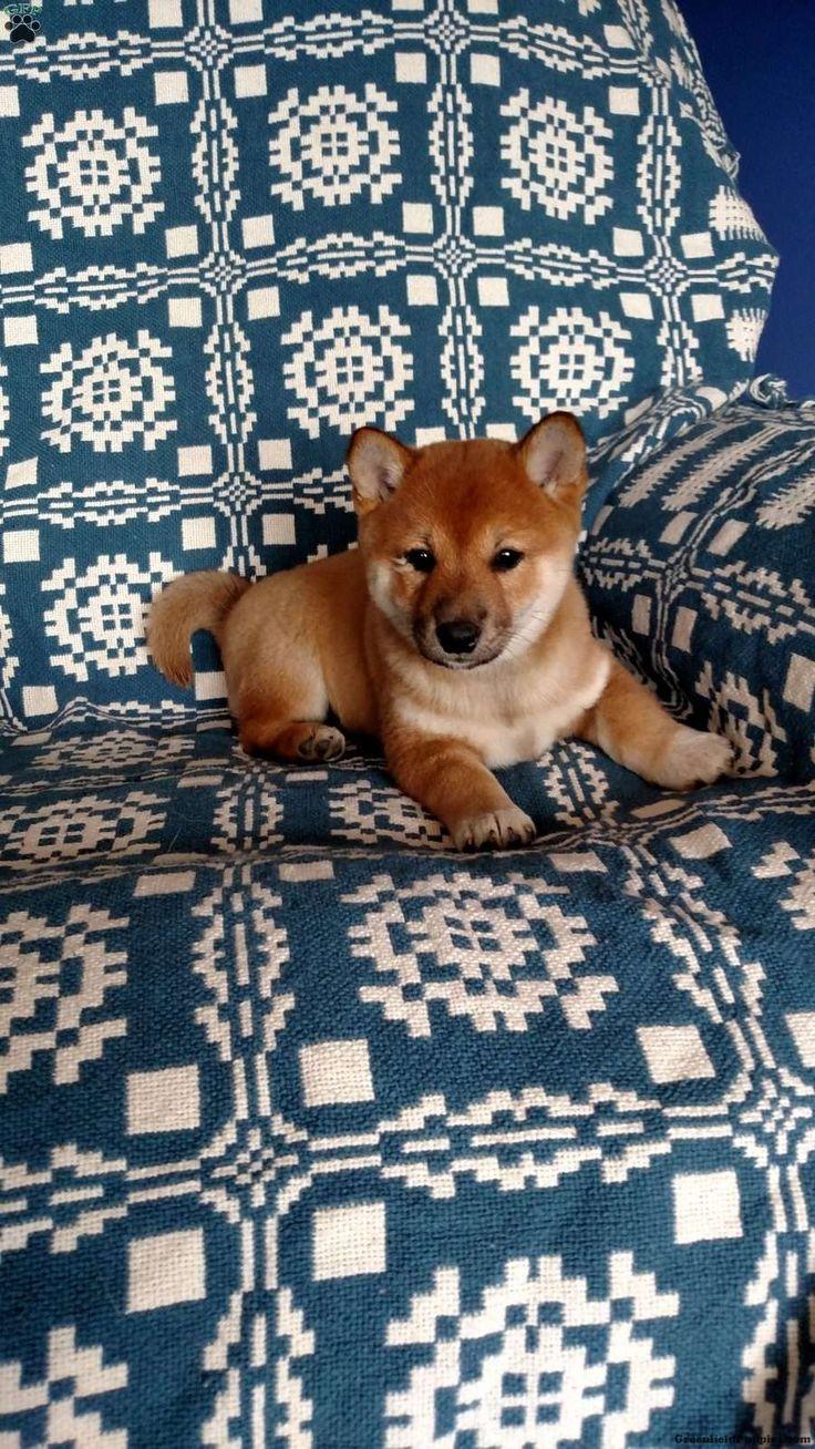 Bones, #Shiba Inu Puppy
