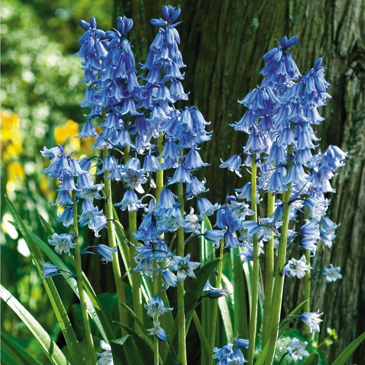 English Bluebells: A hybrid of English and Spanish Bluebells occurs in the wild in the U.S. (mostly in blue), and is lovely. It can be quite invasive,