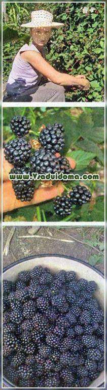 ежевика выращивание посадка