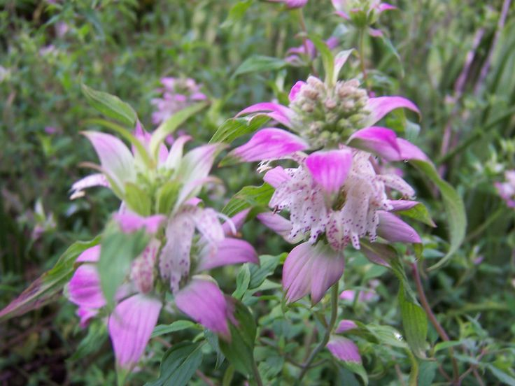 Horsemint,  a native Monarda that apparently blooms in August.