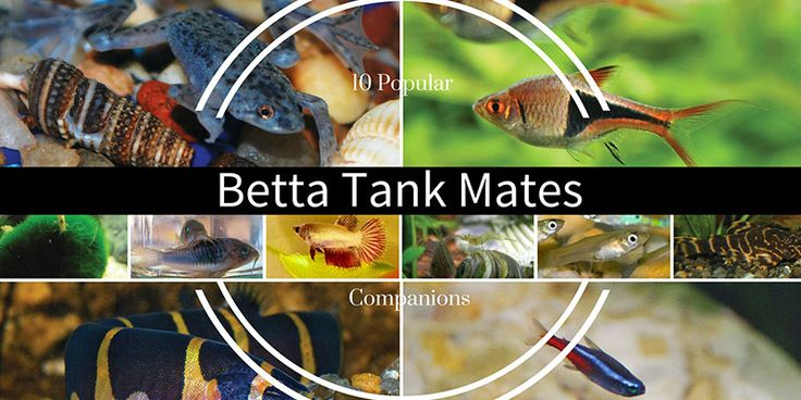 57 best freshwater aquarium and aquascape images on for Tank mates for betta fish