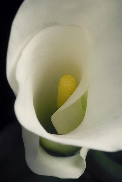 Au coeur de mes secrets... calla lily