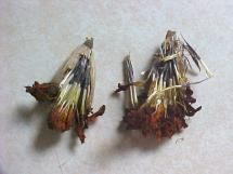 Growing Marigolds? Here's How to Save the Seeds for Next Year: Carefully open the marigold seed pods.