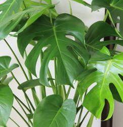 17 meilleures images propos de mes plantes sur pinterest for Asperge plante interieur
