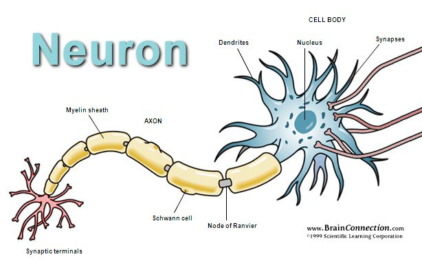 A Single Neuron  Closed head injury