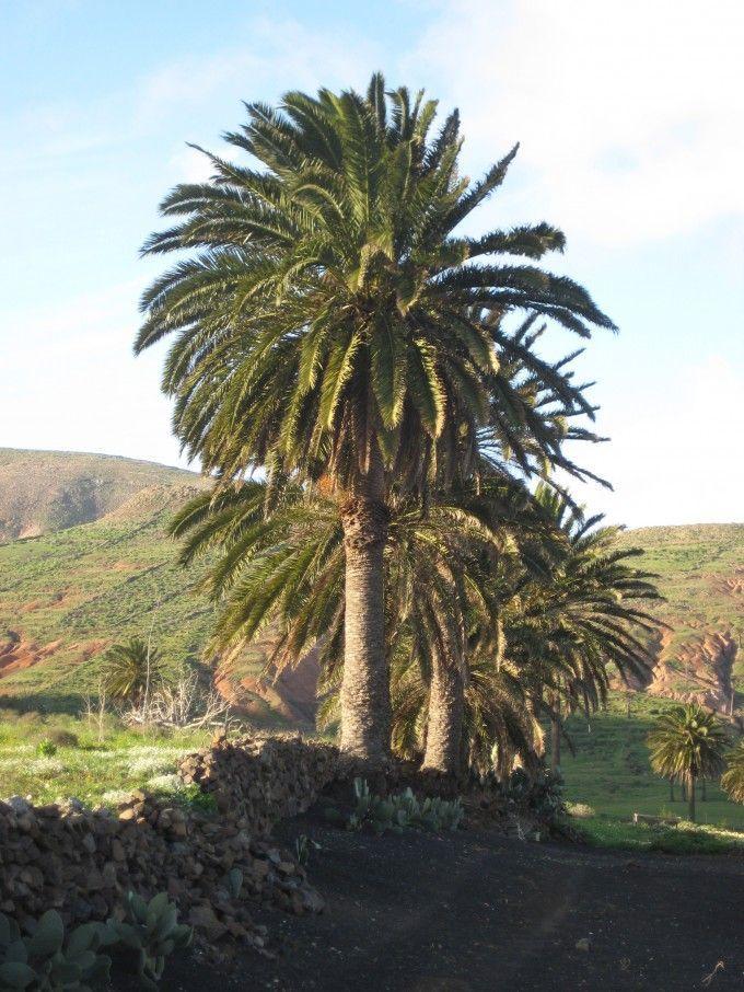 """Haría, """"El Valle de las Tres Mil Palmeras"""", Lanzarote, Las Islas Canarias (the Canary Islands), Spain"""