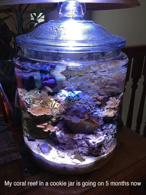 Nano tank in a cookie jar #saltwater #coral http://www.reddit.com/r/pics/comments/1kuhuc/my_coral_reef_in_a_cookie_jar_after_5_months/