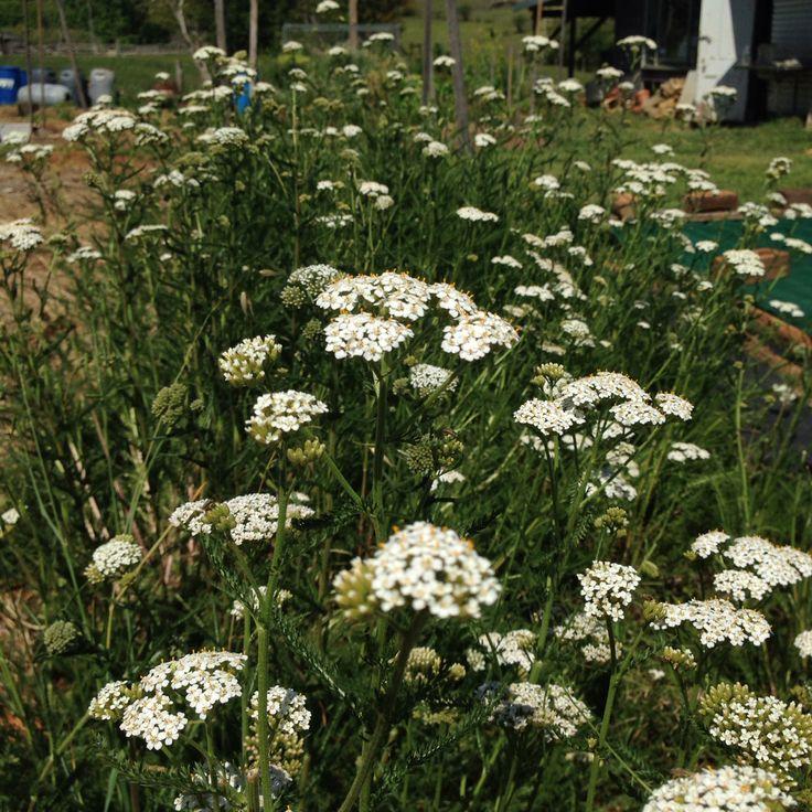 Yarrow flowers for BD502