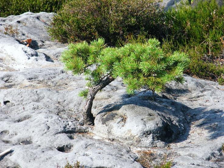 Pinus on the rock