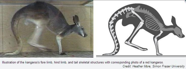 Five-legged kangaroo? Telling the tale of a kangaroo's tail