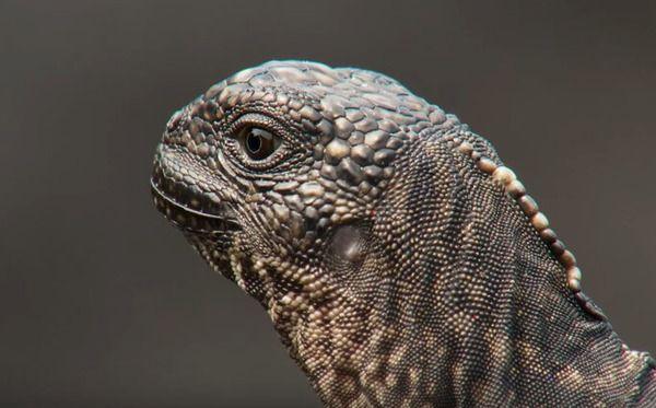 大量のヘビに追われる赤ちゃんイグアナのサバイバルシーンにハラハラドキドキ…!