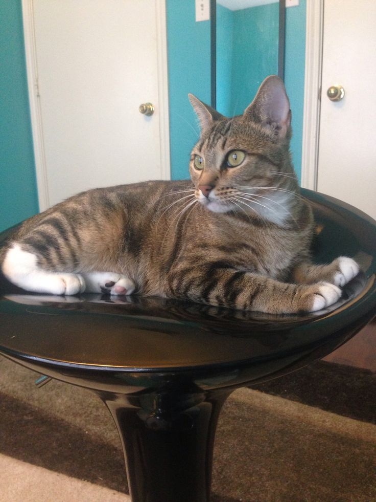 PLEASE SHARE in Tomball, Tx Who wants a kitty??? I am asking $75. She is microchipped, spayed, and has a rabies and feline distemper shot. She is really sweet!  If interested:  Corrierobertson7@rocketmail.com