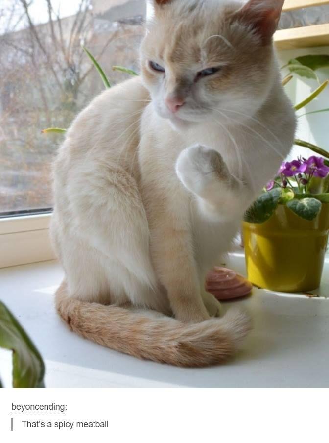 sphynx cat for sale florida