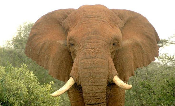The insatiable demand for ivory is causing a dramatic decline in the number of African elephants. Poachers are hunting the animal faster than it can reproduce, a new study finds.