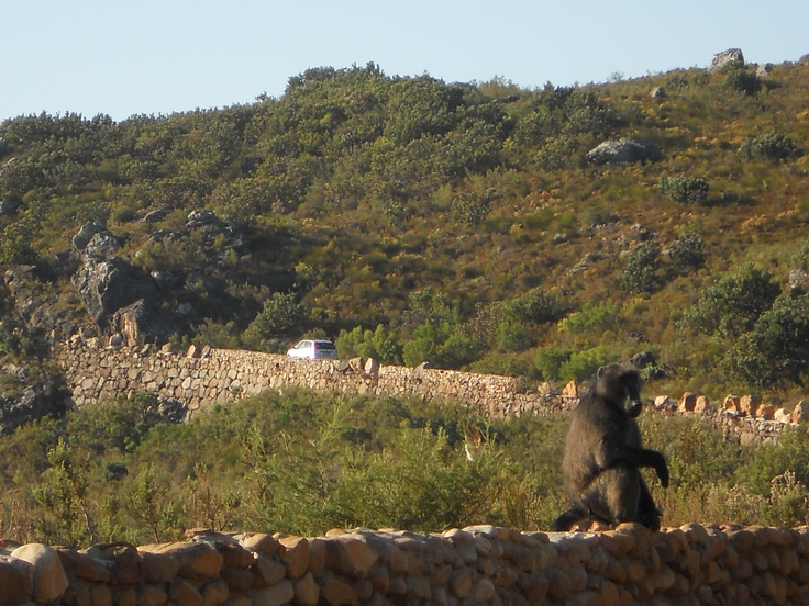 Baboon in Bainskloof Mountain pass, Wellington, South Africa